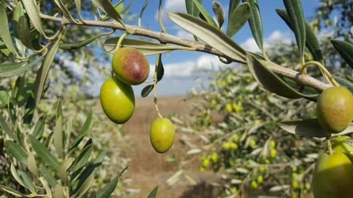 משק נעמי - עץ זית