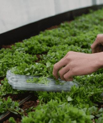 ירוקלה - חקלאות כתרבות